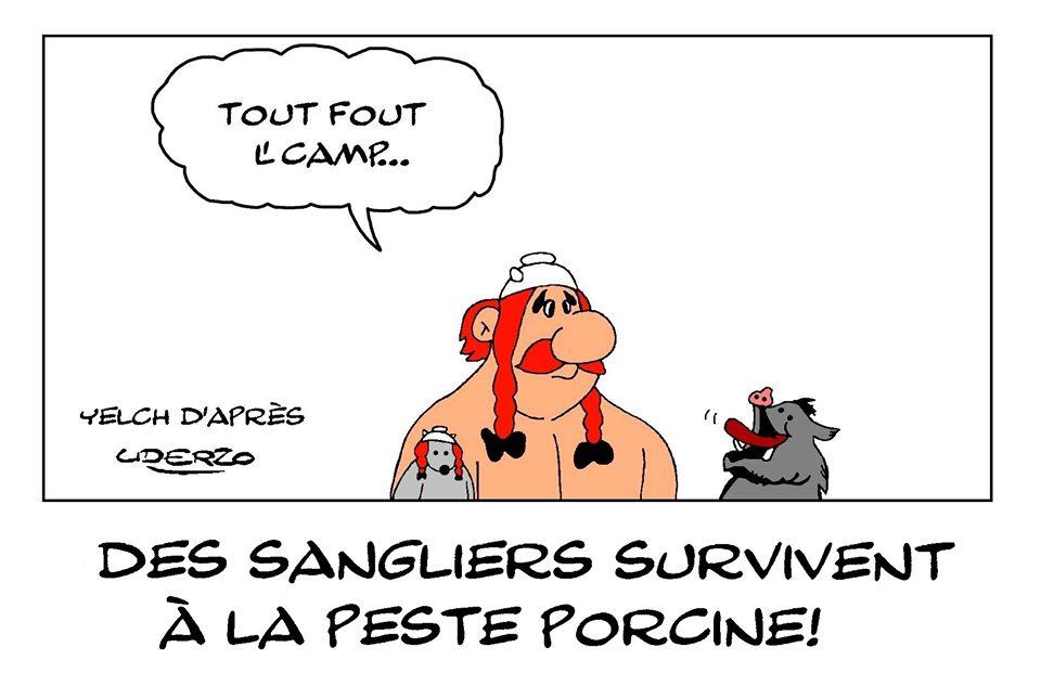 dessin de Yelch sur les sangliers résistants à la peste porcine