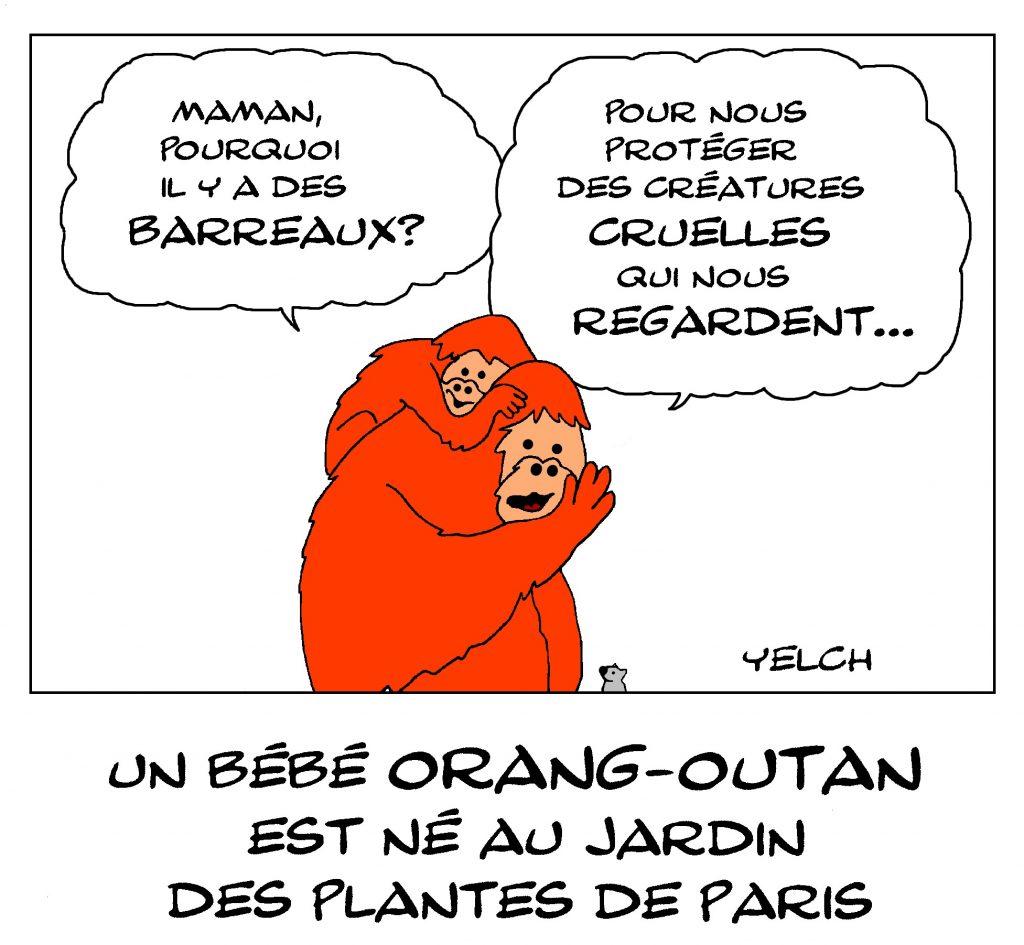 dessin de Yelch sur la naissance d'un bébé orang-outan au Jardin des Plantes de Paris
