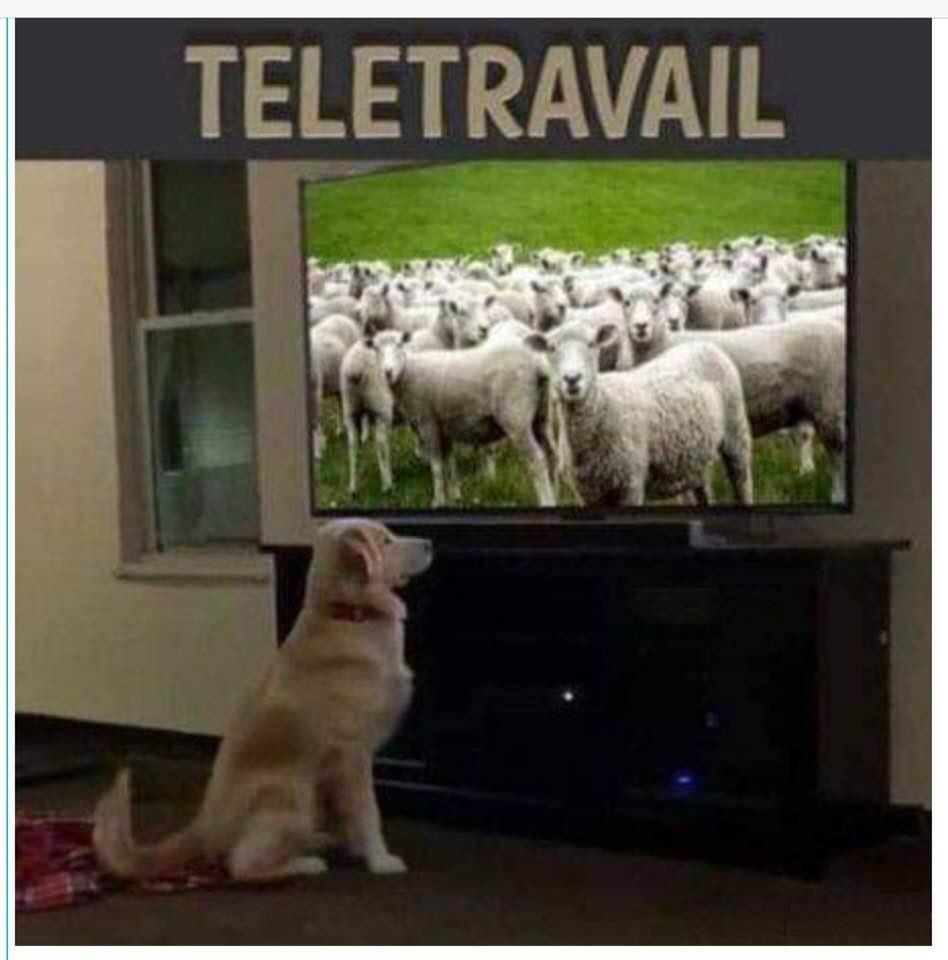 dessin humour coronavirus covid-19 image drôle chien berger moutons télétravail