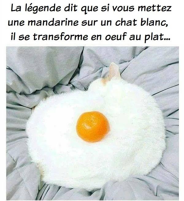 dessin humour chat blanc image drôle mandarine œuf au plat