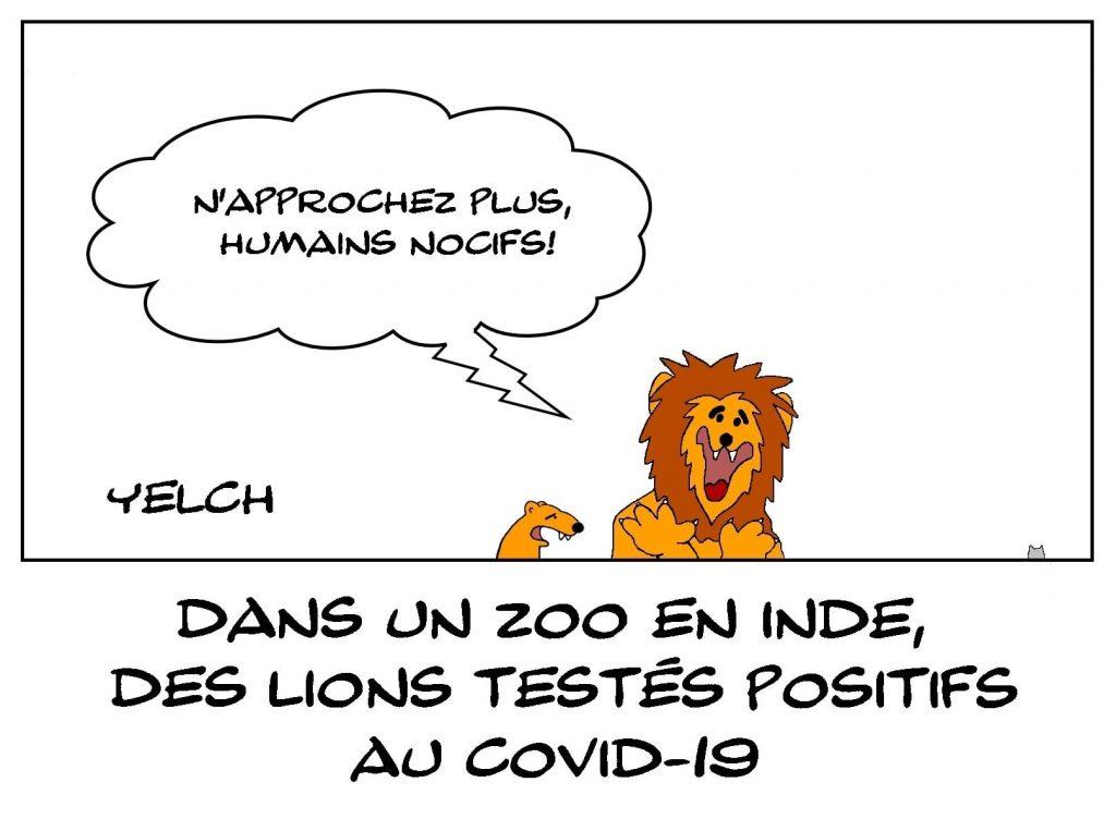 dessins humour coronavirus covid-19 image drôle zoo Inde lions positivité