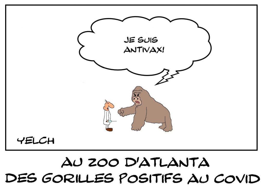 dessins humour coronavirus covid-19 image drôle gorilles positifs zoo Atlanta